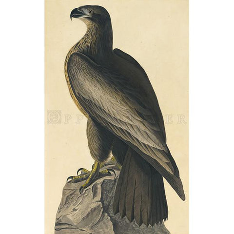 Bird of Washington Oppenheimer Print
