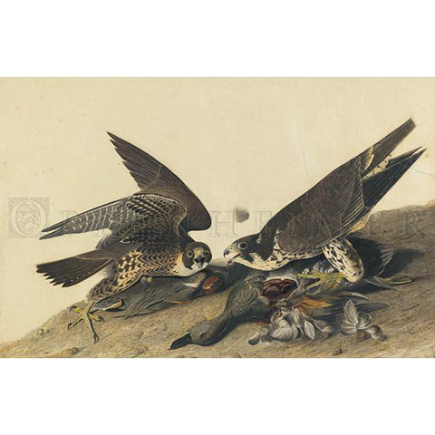 Great-footed Hawk Oppenheimer Print