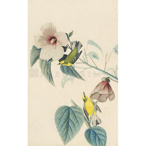 Blue-winged Yellow Warbler Oppenheimer Print