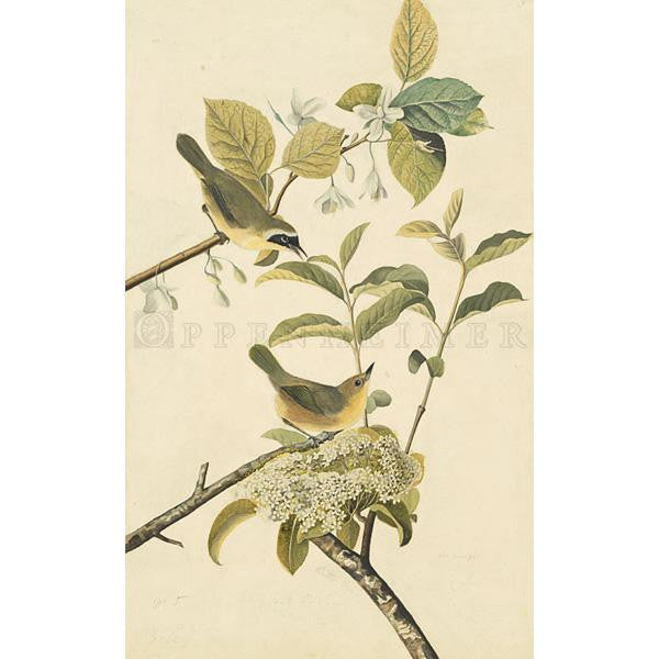 Yellow-breasted Warbler Oppenheimer Print