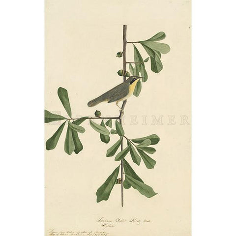 Roscoe's Yellow-throat Oppenheimer Print