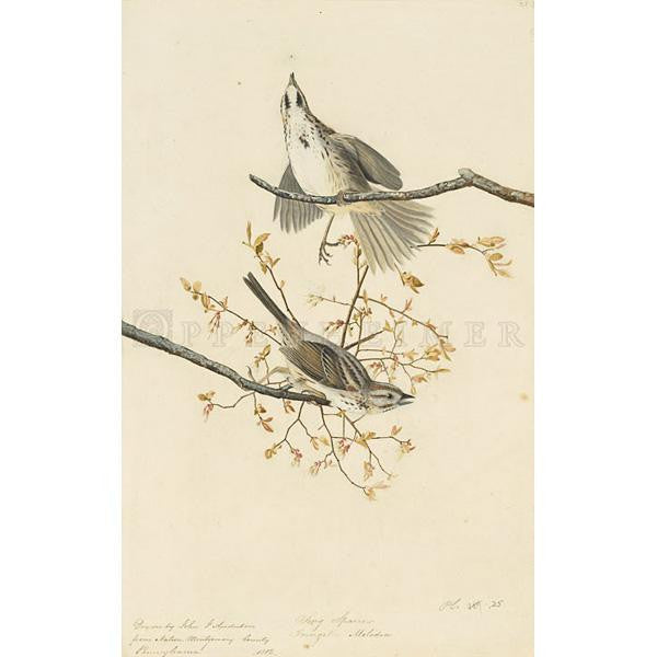 Song Sparrow Oppenheimer Print