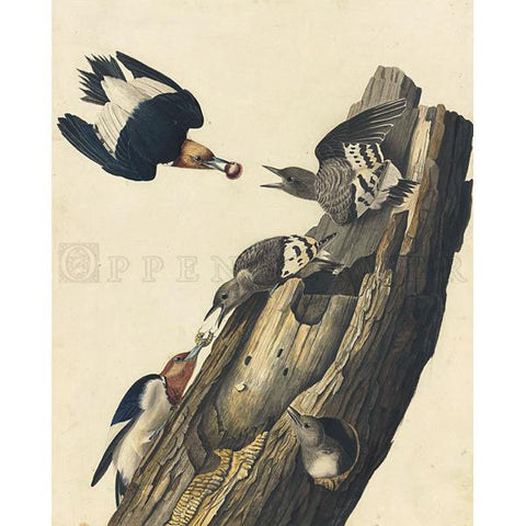 Red-headed Woodpecker Oppenheimer Print