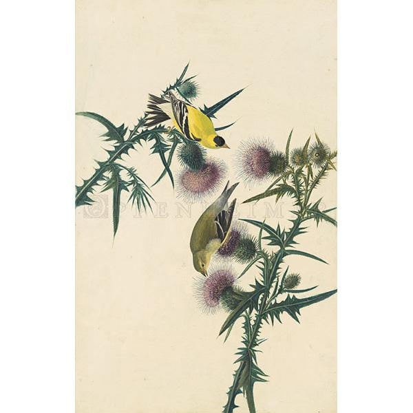 American Goldfinch Oppenheimer Print - New-York Historical Society Museum Store