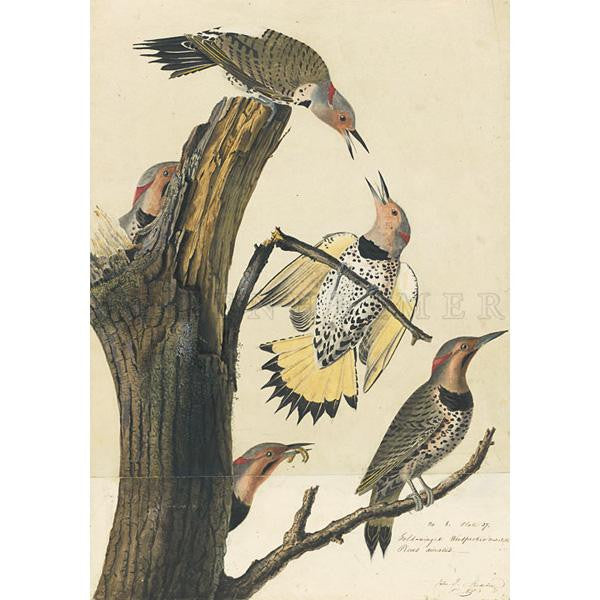 Golden-winged Woodpecker Oppenheimer Print
