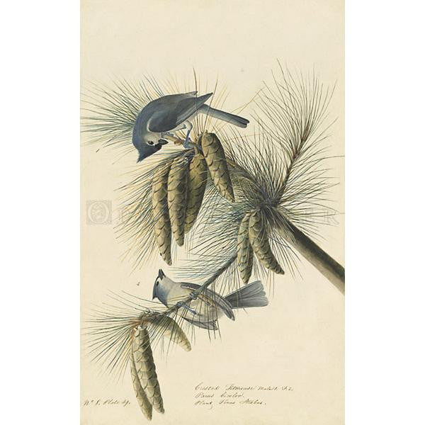 Crested Titmouse Oppenheimer Print - New-York Historical Society Museum Store