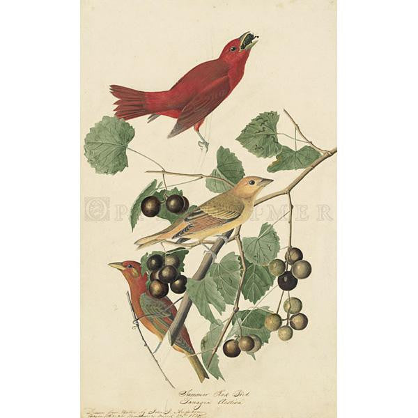 Summer Red Bird Oppenheimer Print