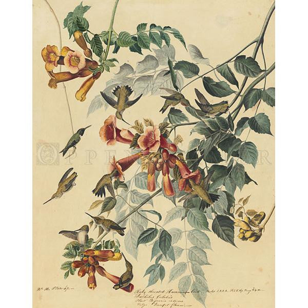 Ruby-Throated Humming Bird Oppenheimer Print