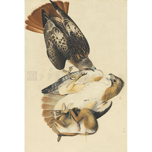 Red-tailed Hawk Oppenheimer Print