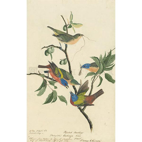 Painted Bunting Oppenheimer Print