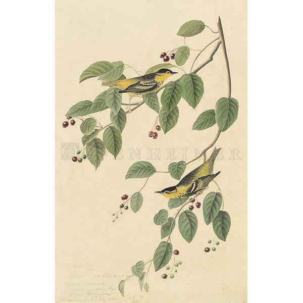 Carbonated Warbler Oppenheimer Print - New-York Historical Society Museum Store