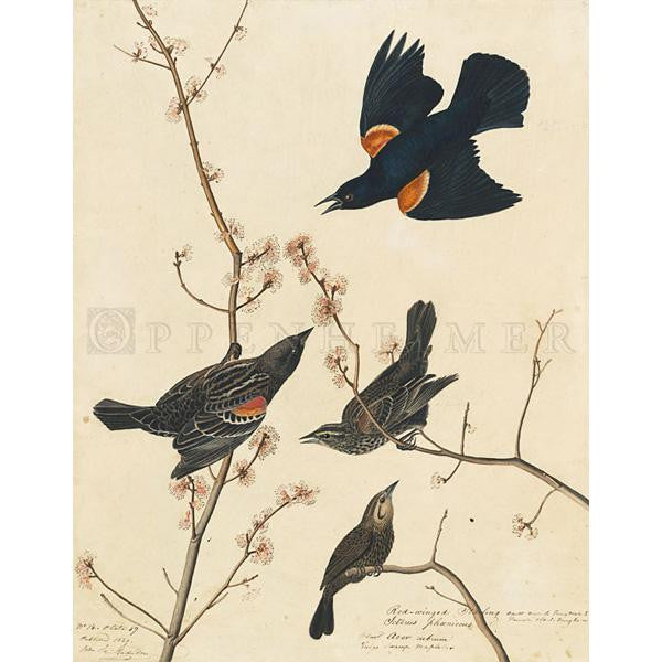 Red-winged Starling Oppenheimer Print