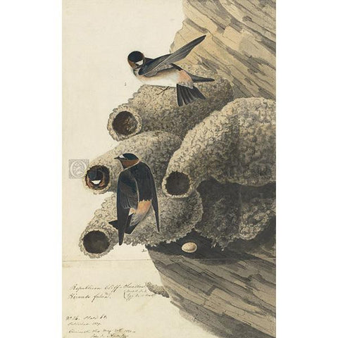 Republican or Cliff Swallow Oppenheimer Print