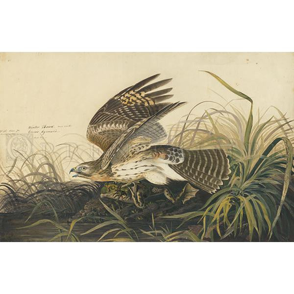 Winter Hawk Oppenheimer Print