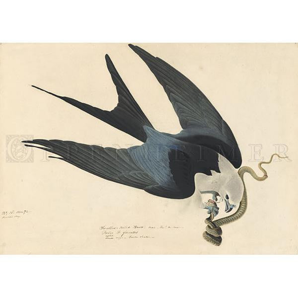 Swallow-tailed Hawk Oppenheimer Print
