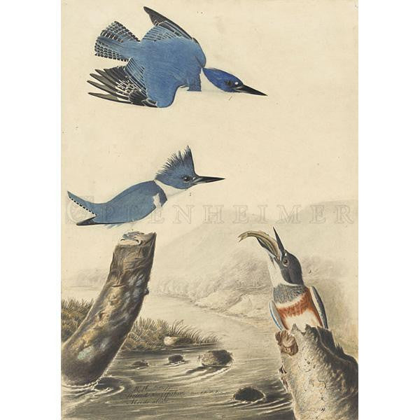 Belted Kingfisher Oppenheimer Print - New-York Historical Society Museum Store