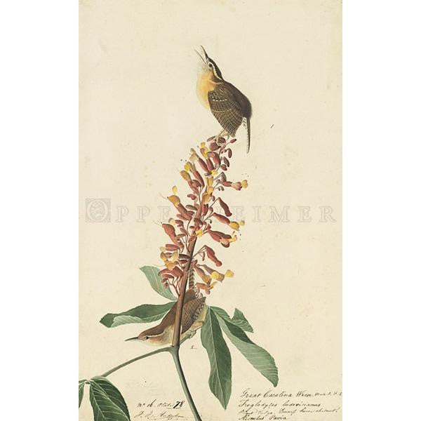 Great Carolina Wren Oppenheimer Print