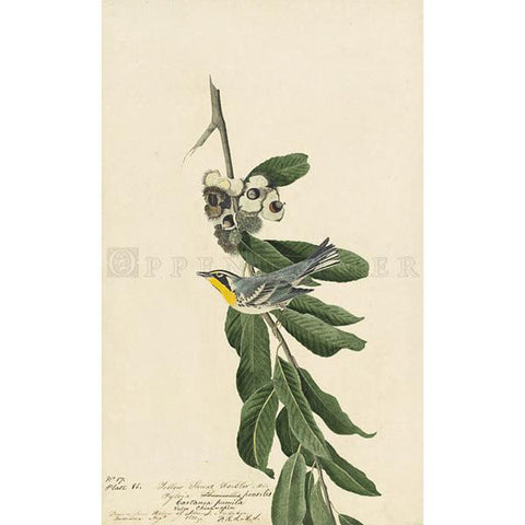 Yellow Throat Warbler Oppenheimer Print