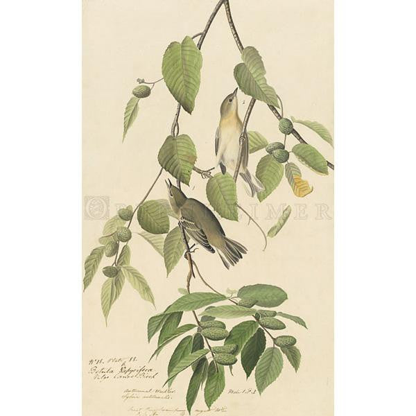 Autumnal Warbler Oppenheimer Print - New-York Historical Society Museum Store
