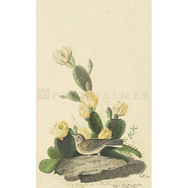 Bay-winged Bunting Oppenheimer Print - New-York Historical Society Museum Store