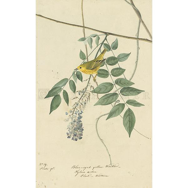 Blue-eyed yellow Warbler Oppenheimer Print - New-York Historical Society Museum Store