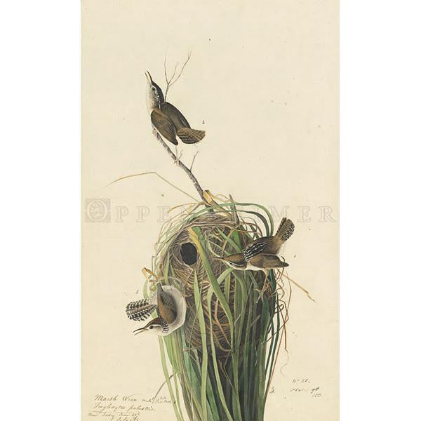 White-bellied Swallow Oppenheimer Print