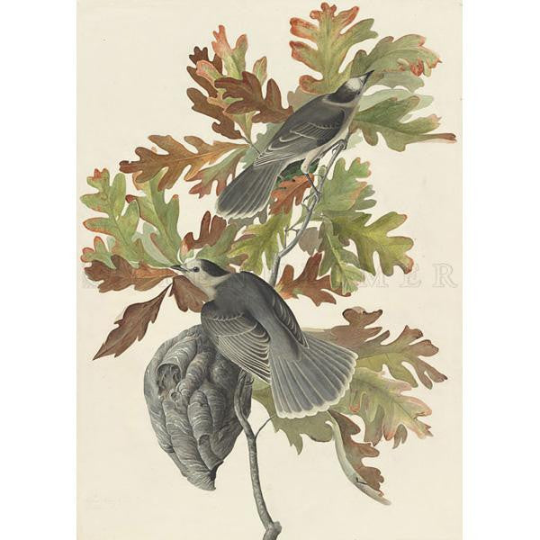 Canada Jay Oppenheimer Print - New-York Historical Society Museum Store