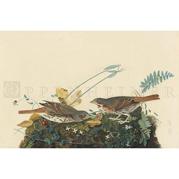 Fox-coloured Sparrow Oppenheimer Print