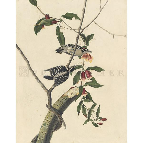 Downy Woodpecker Oppenheimer Print