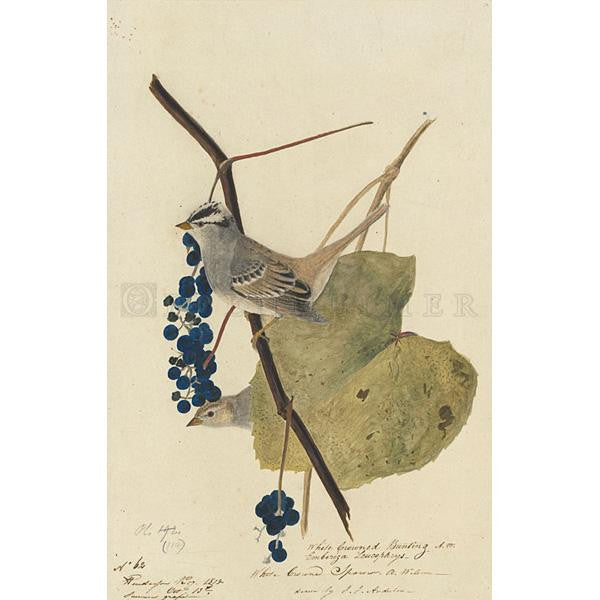 White-crowned Sparrow Oppenheimer Print