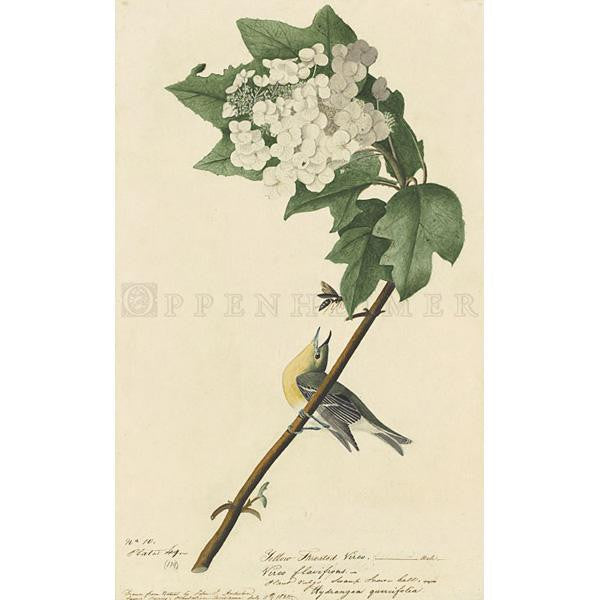 Yellow-throated Vireo Oppenheimer Print