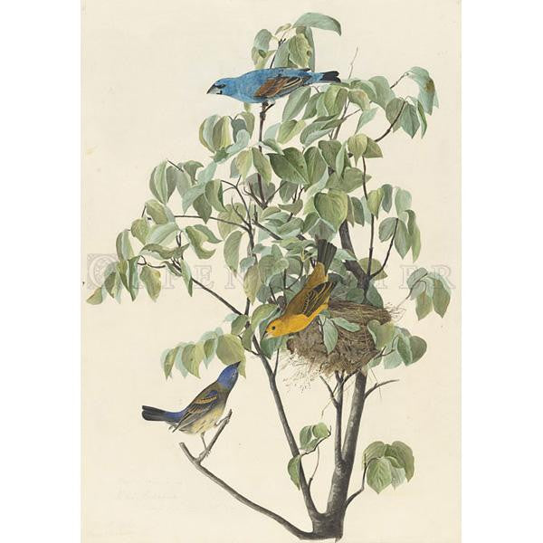 Blue Grosbeak Oppenheimer Print - New-York Historical Society Museum Store
