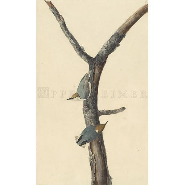 Brown-headed Nuthatch Oppenheimer Print
