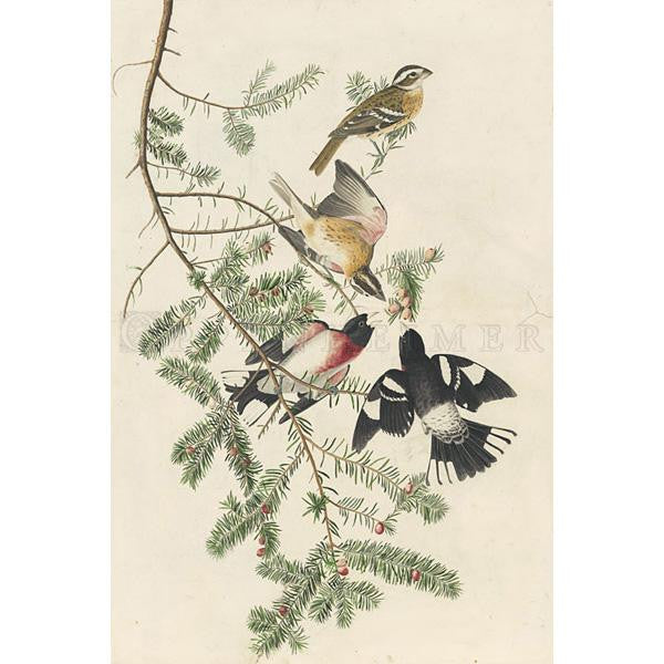 Rose-breasted Grosbeak Oppenheimer Print