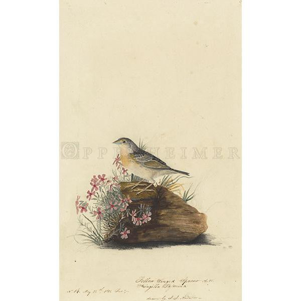 Yellow-winged Sparrow Oppenheimer Print