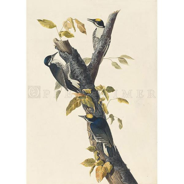 Three-toed Woodpecker Oppenheimer Print