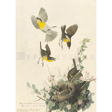 Yellow-breasted Chat Oppenheimer Print