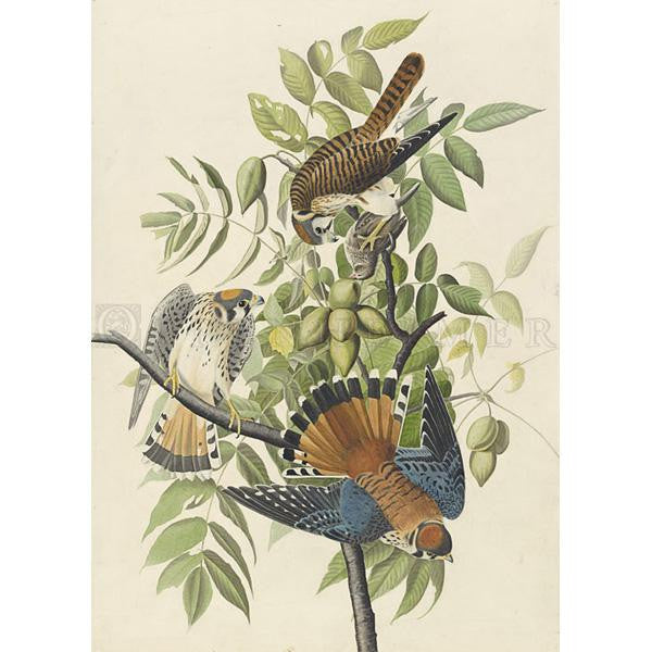 American Sparrow Hawk Oppenheimer Print - New-York Historical Society Museum Store