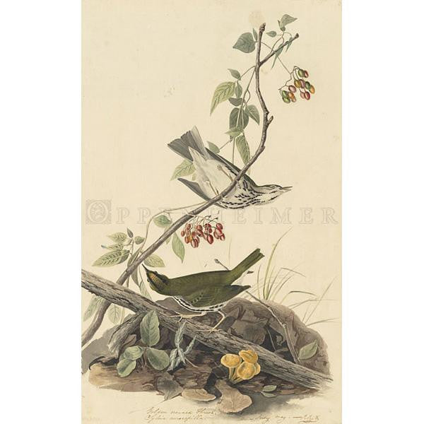 Golden crowned Thrush Oppenheimer Print