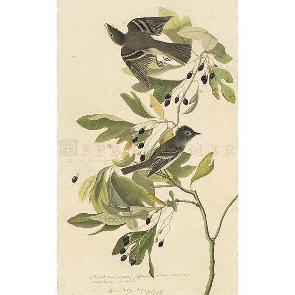 Small Green Crested Flycatcher Oppenheimer Print