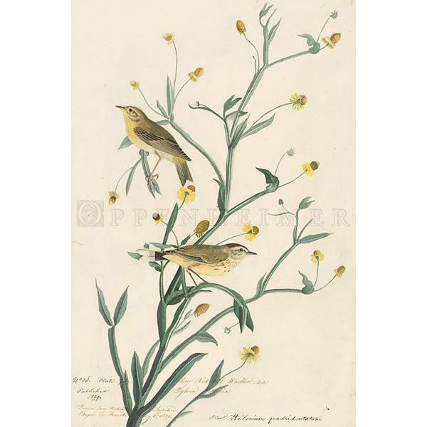 Yellow Red-poll Warbler Oppenheimer Print