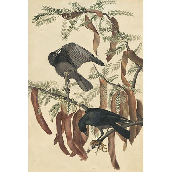 Fish Crow Oppenheimer Print