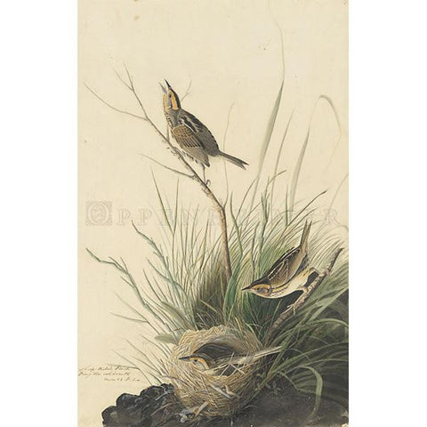 Sharp-tailed Finch Oppenheimer Print