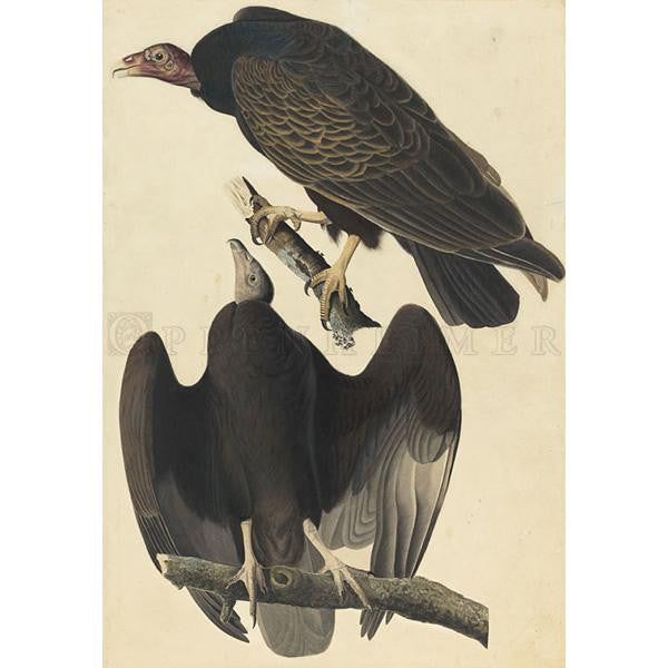 Turkey Buzzard Oppenheimer Print