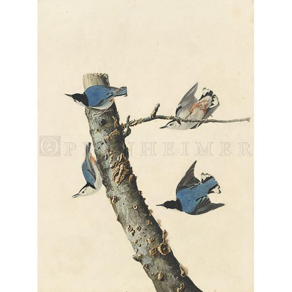 White-breasted Black-capped Nuthatch Oppenheimer Print
