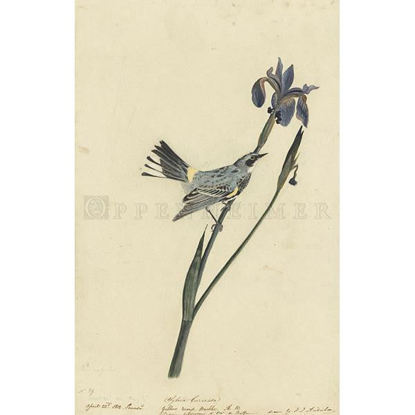 Yellow-Crowned Warbler Oppenheimer Print