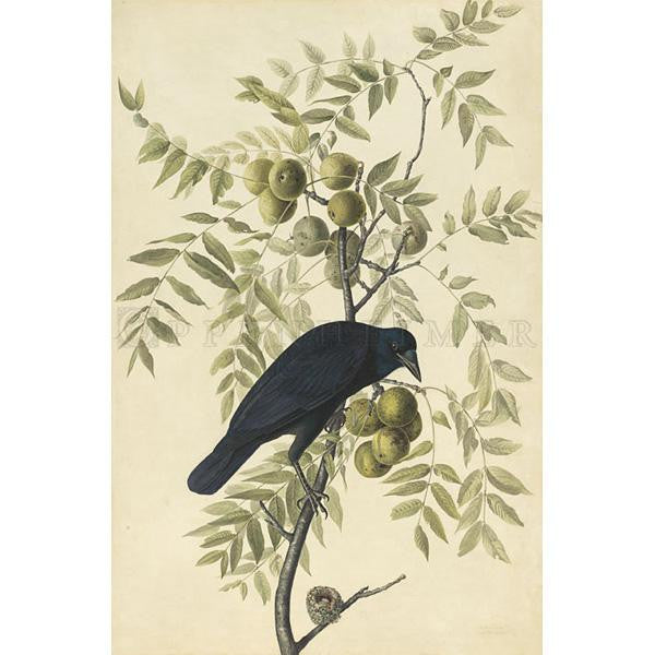 American Crow Oppenheimer Print - New-York Historical Society Museum Store