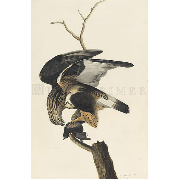 Rough-legged Falcon Oppenheimer Print