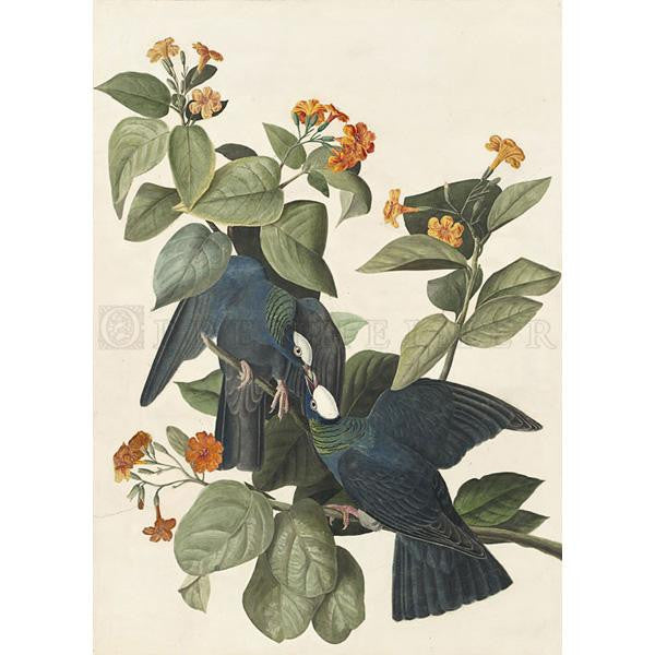 White-crowned Pigeon Oppenheimer Print