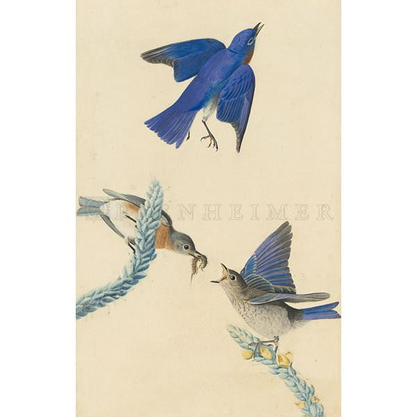 Blue-bird Oppenheimer Print - New-York Historical Society Museum Store